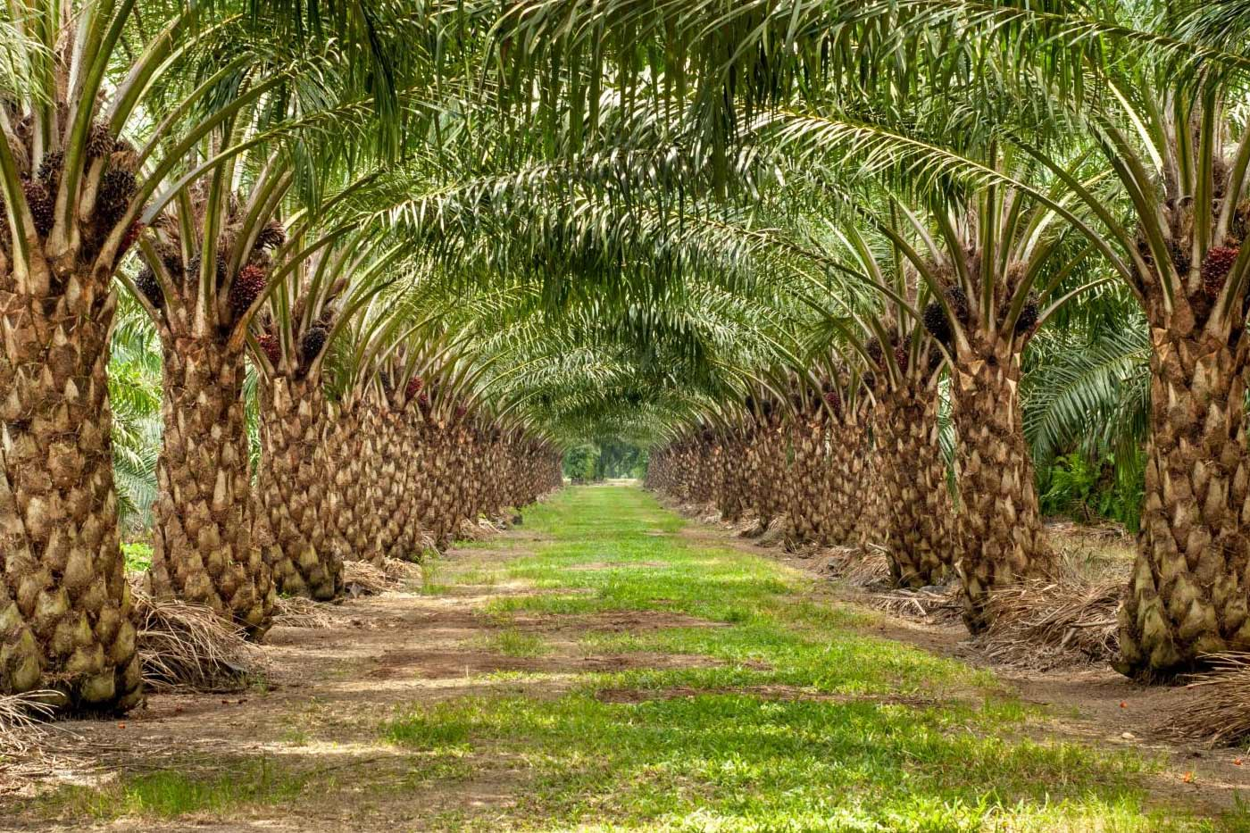 recipe-for-high-sustainable-oil-palm-yield-2017